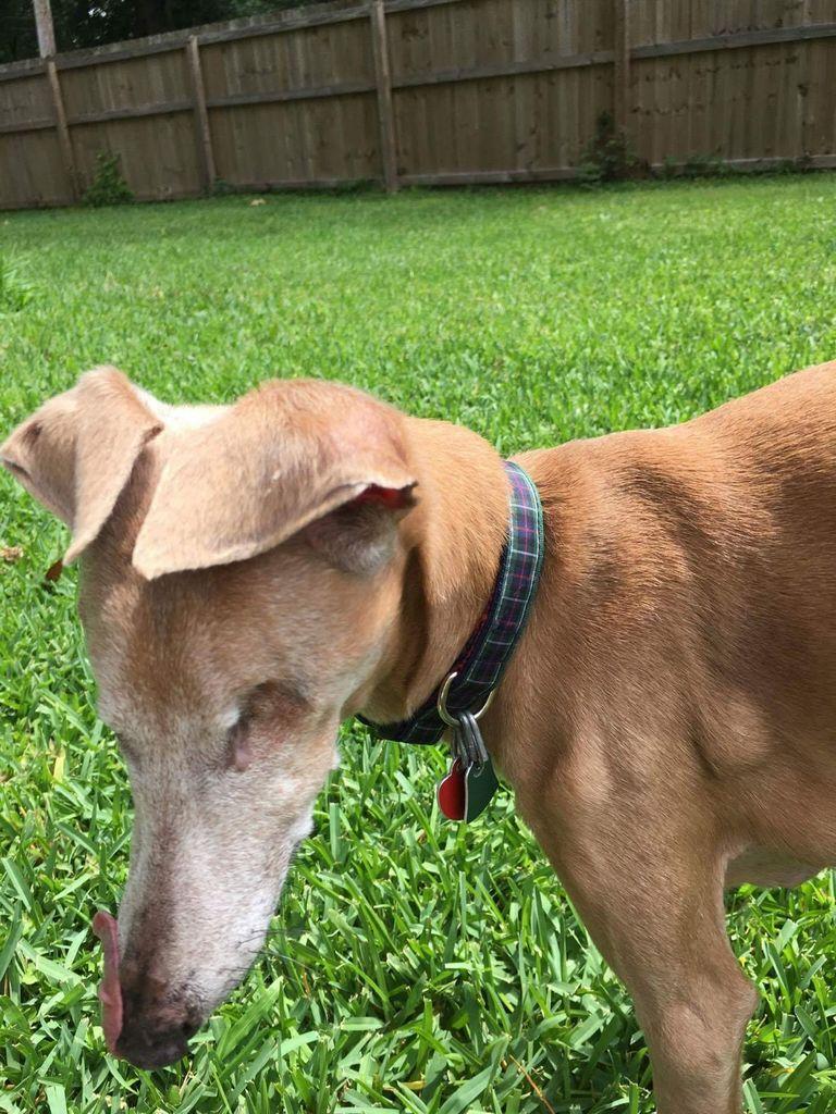 Italian Greyhound Rescue Nc | Top Dog Information