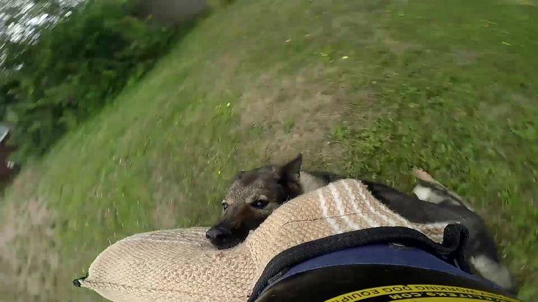 Italian Greyhound Rescue Ny