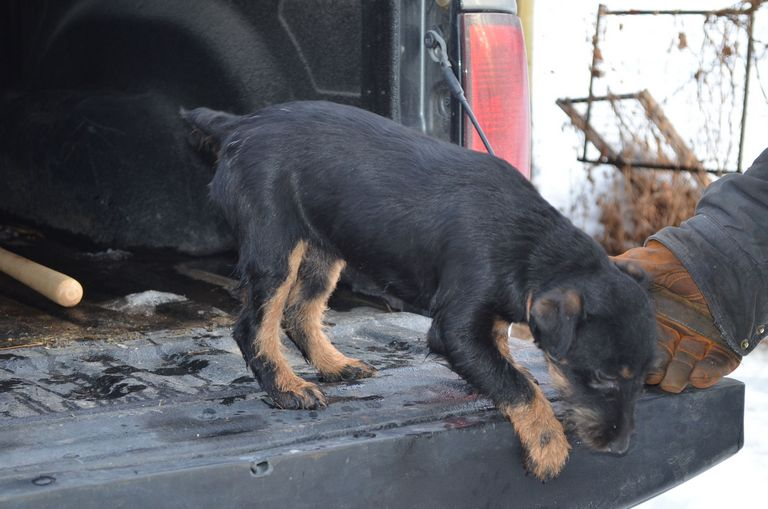 Jagdterrier Puppies For Sale 2018