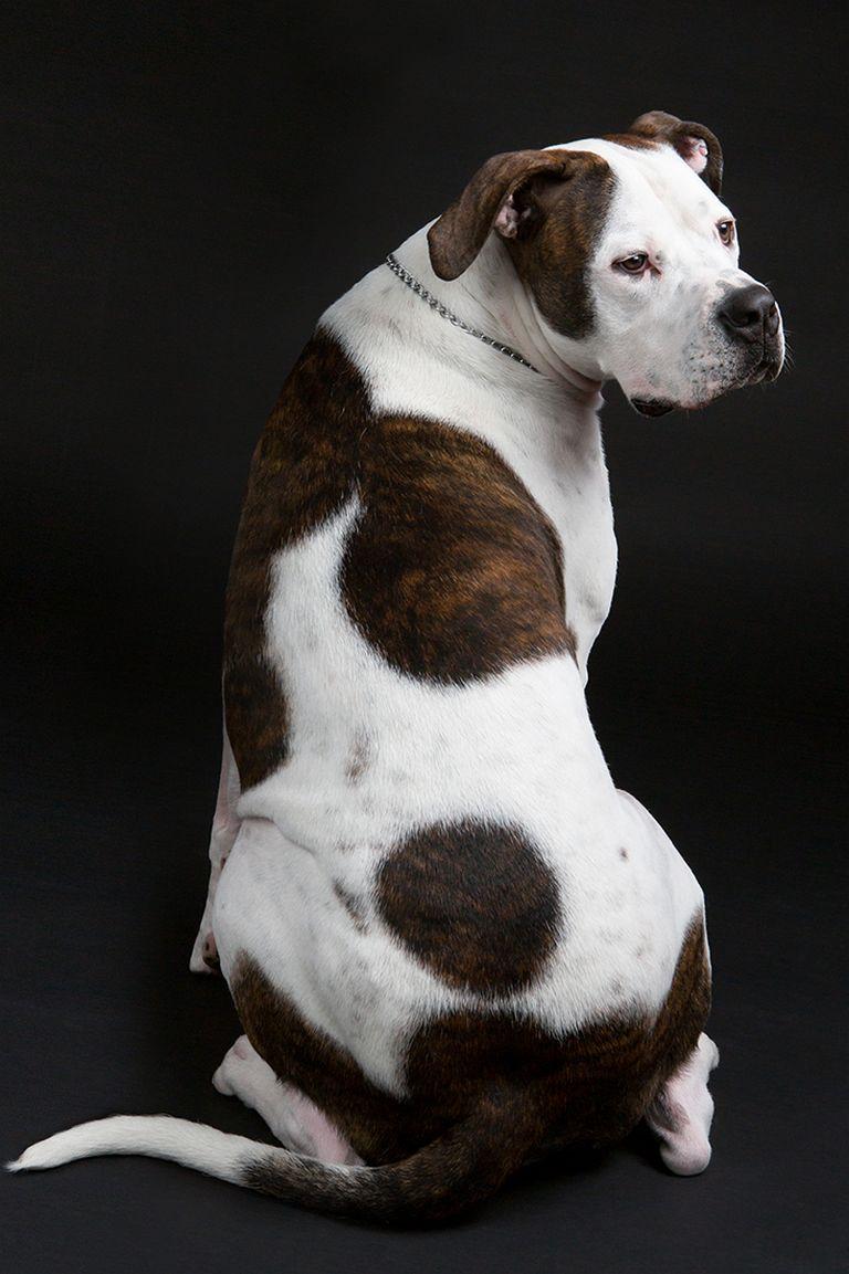 Johnson American Bulldog Puppies For Sale Near Me