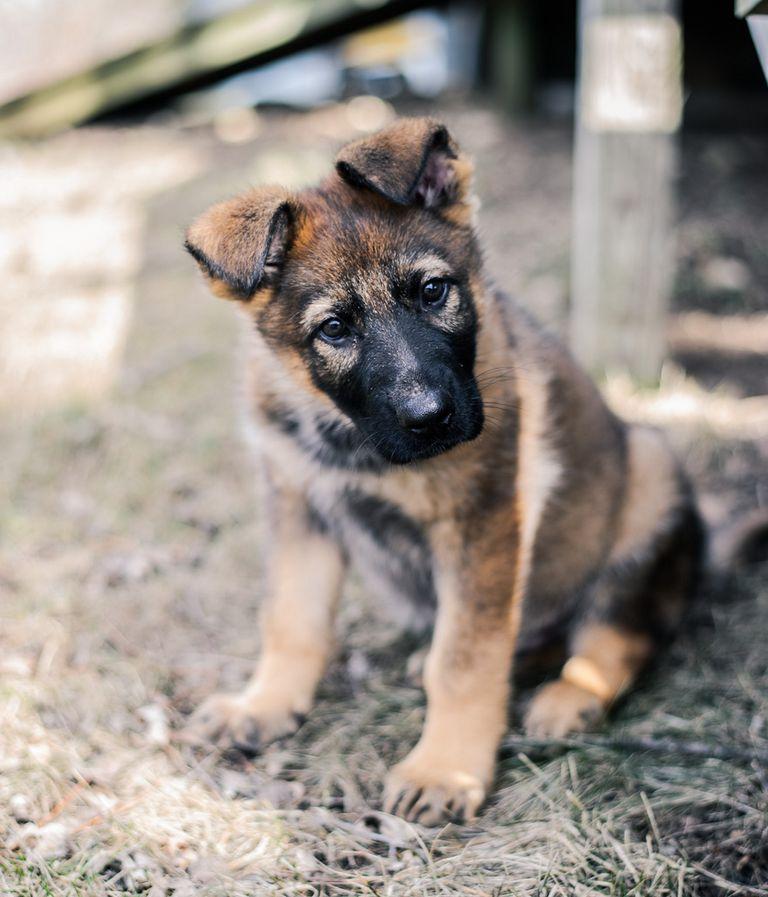 K9 German Shepherd Puppies For Sale