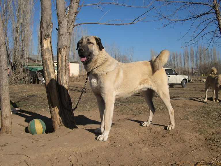 Kangal Puppies For Sale Texas 2018