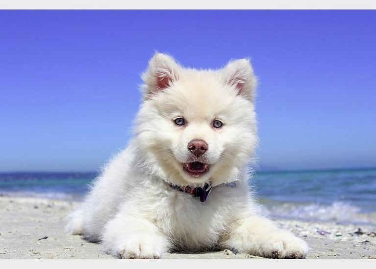 Keeshond Pomeranian Mix Puppies For Sale