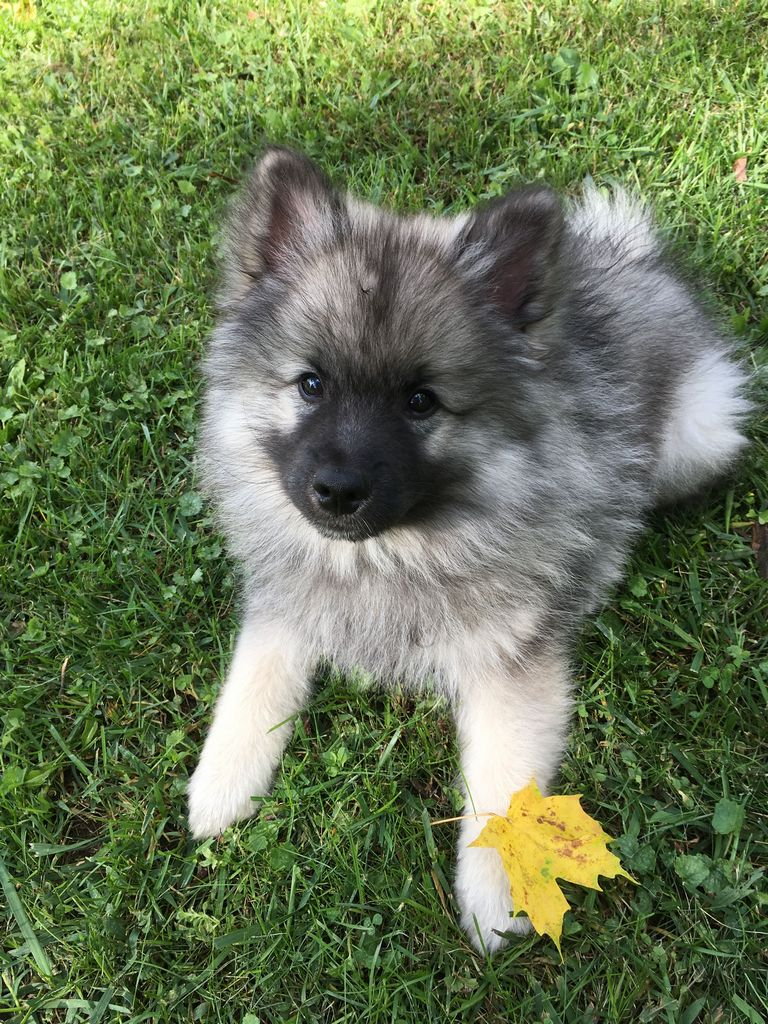 Keeshond Puppies For Sale Va