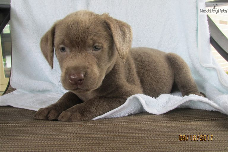 Lab Puppies Canton Ohio