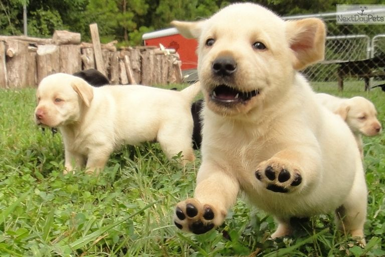 Lab Puppies For Sale In Charlotte Nc