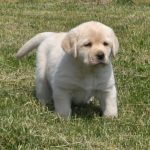 Lab Puppies For Sale In Cleveland Ohio