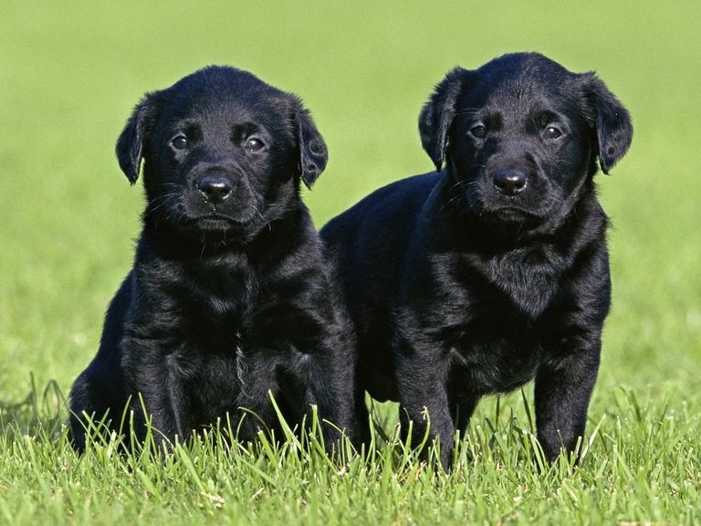 Lab Puppies For Sale In Nh