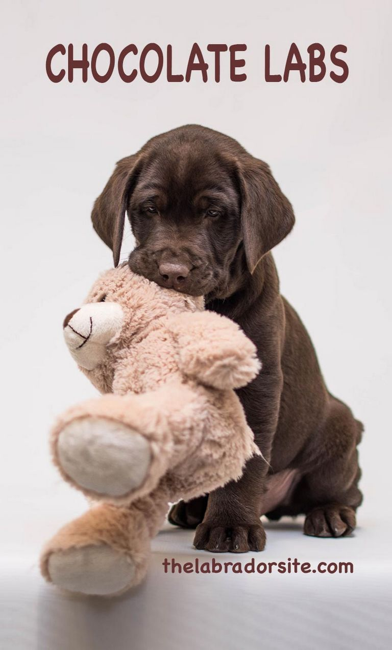 Lab Puppies For Sale In North Alabama