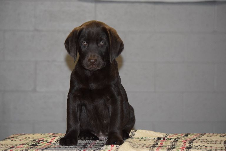 Lab Puppies For Sale In Ohio