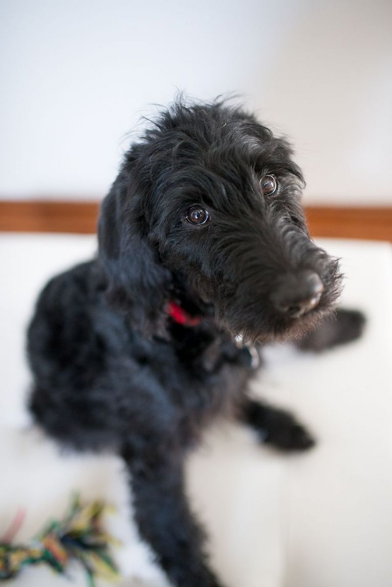 Labradoodle Breeders Long Island | Top Dog Information
