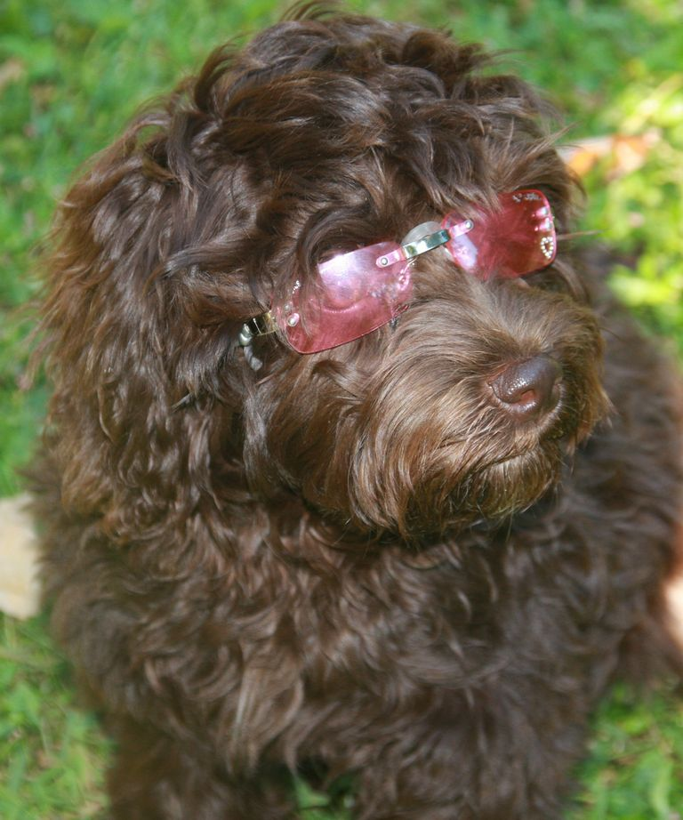 Labradoodle Puppies For Sale Sc | Top Dog Information