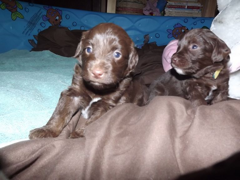Labradoodle Puppies For Sale St Louis