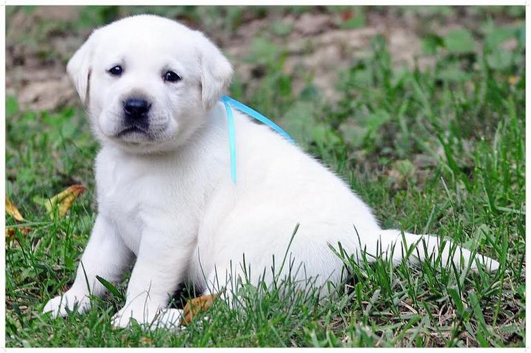 Labrador Puppies For Sale In Louisville