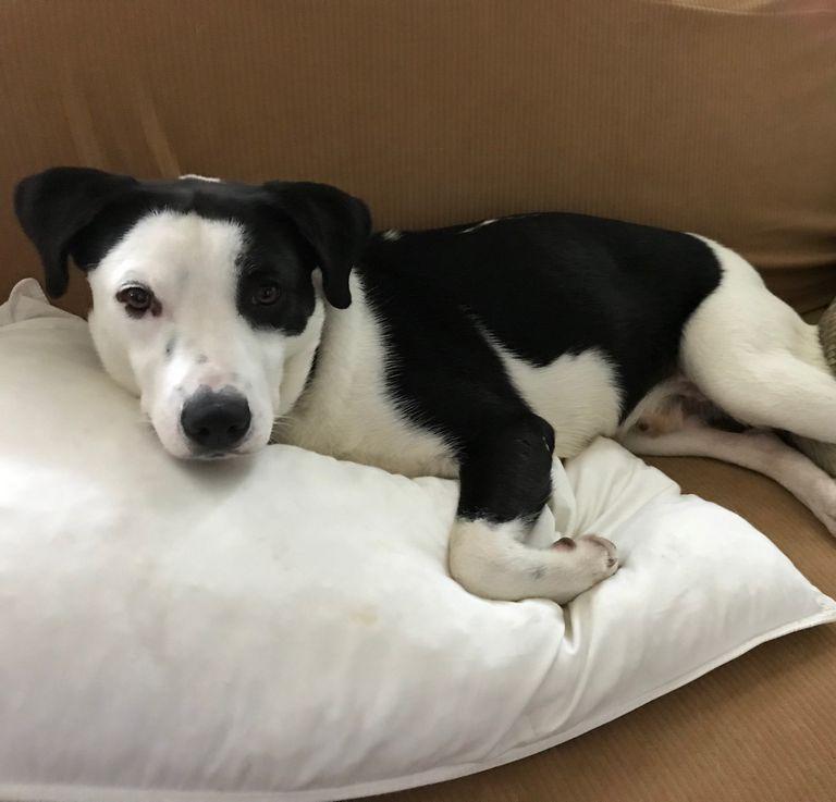 Labrador Retriever Rescue Tn
