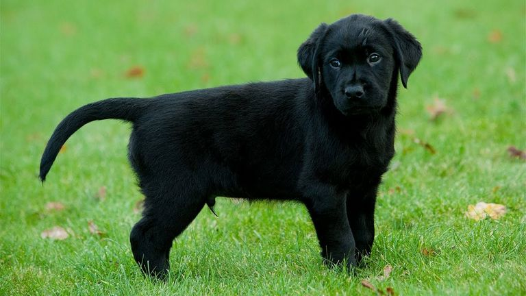 Labrador Vs Golden Retriever In India