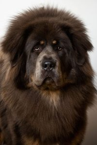 Lazy Dog Breeds For Apartments