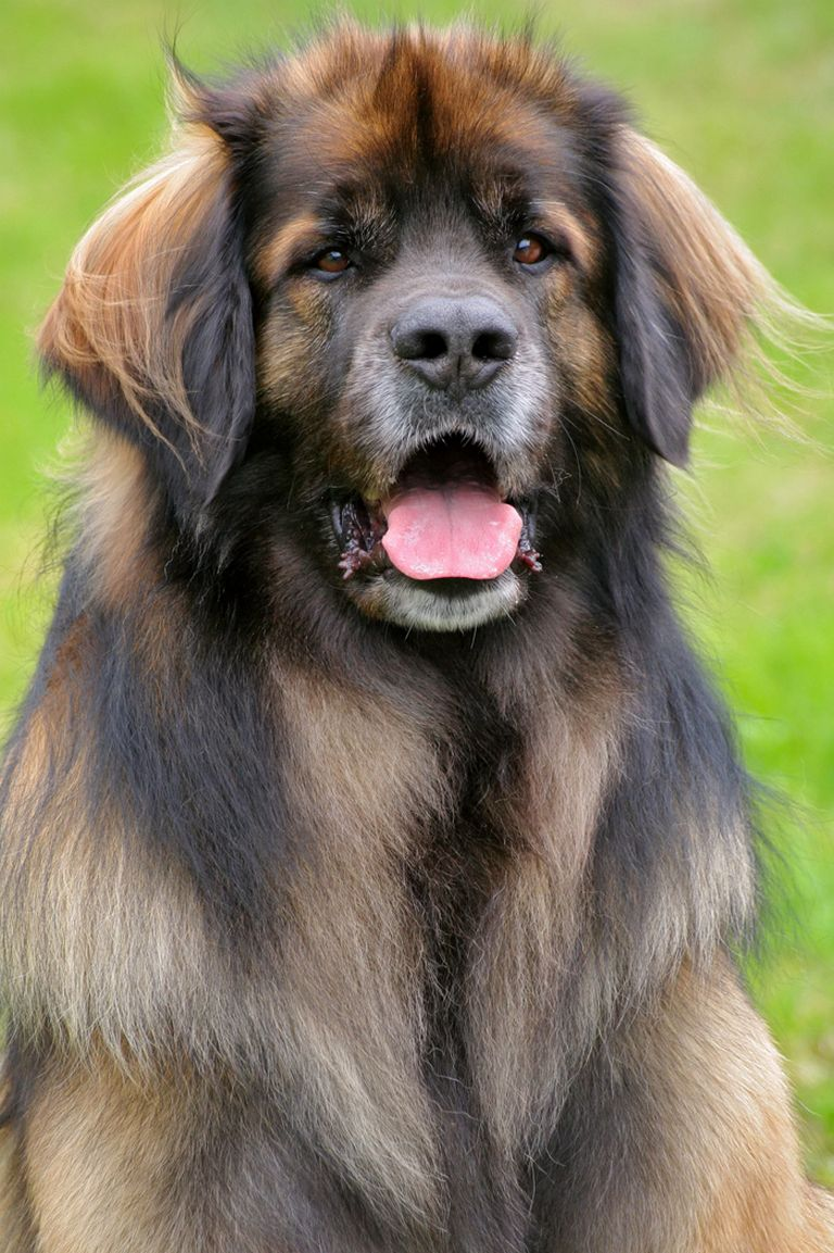 Leonberger Puppies For Sale In Missouri