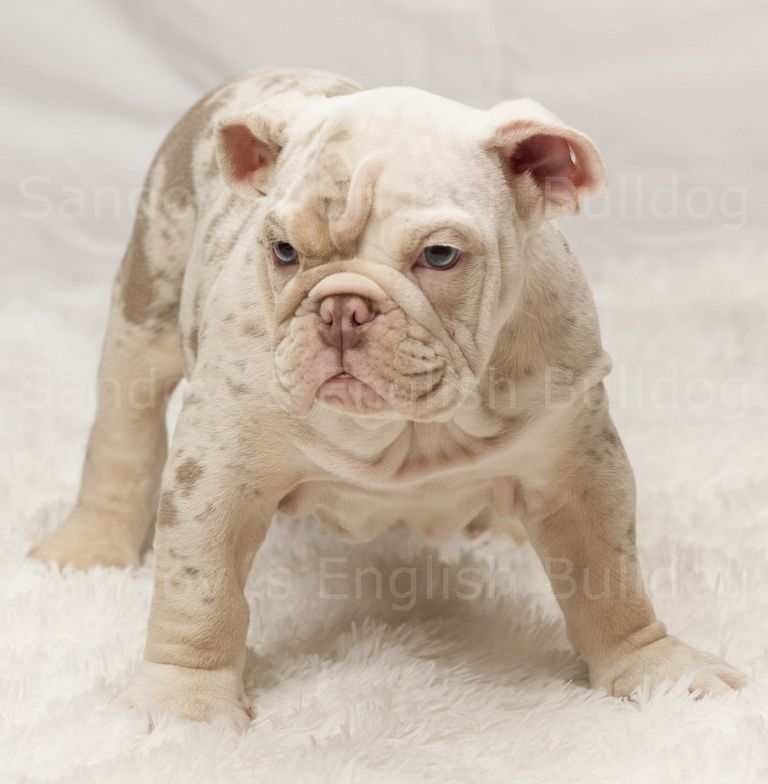 Lilac English Bulldogs For Sale In Texas