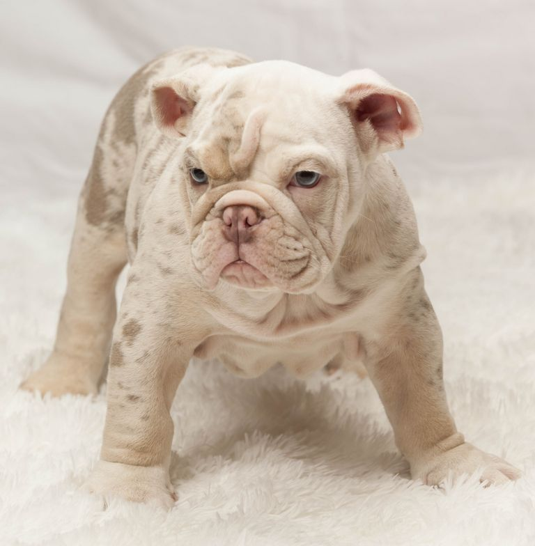 Lilac French Bulldogs For Sale