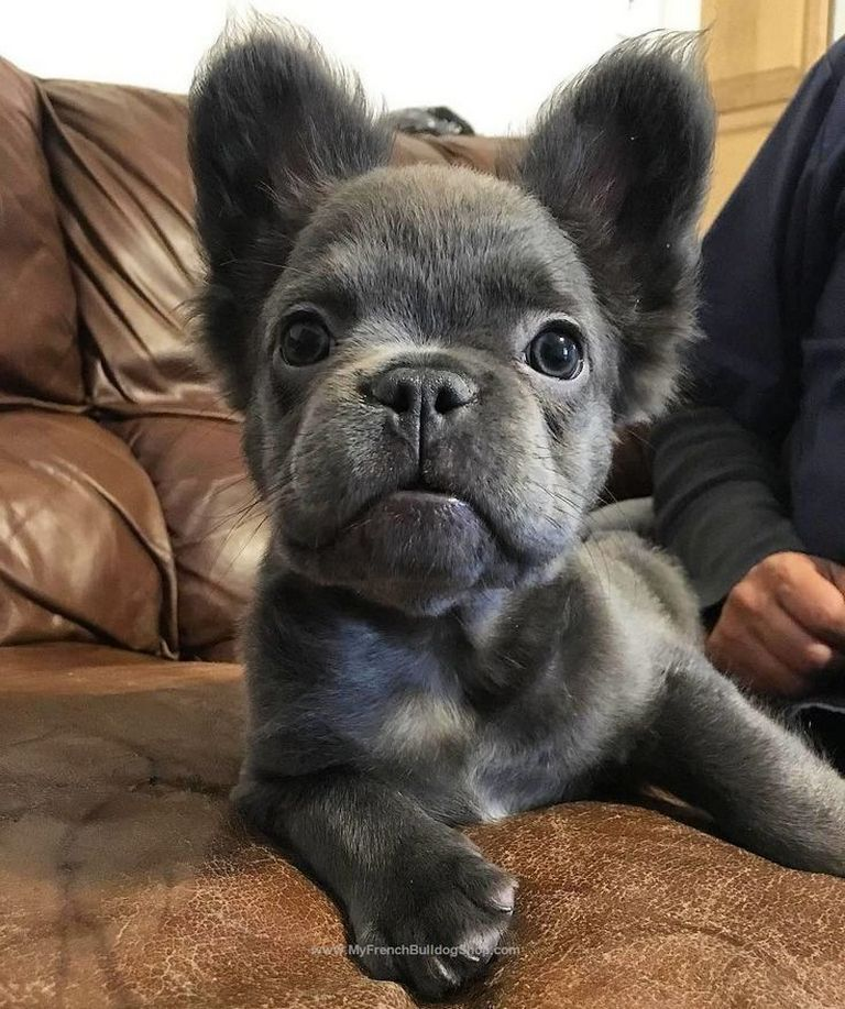 Long Haired French Bulldog For Sale