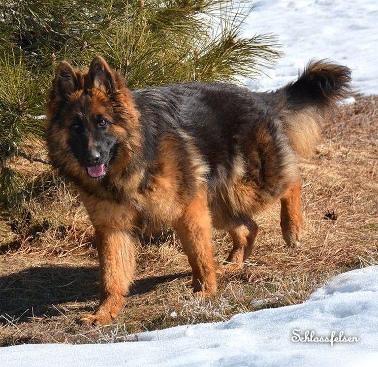 Long Haired German Shepherd Puppies For Sale Nebraska