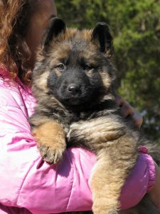 Italian Greyhound Puppies Nc Top Dog Information