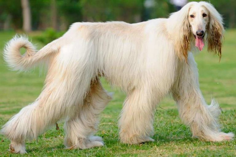 Long Haired Hound Breeds