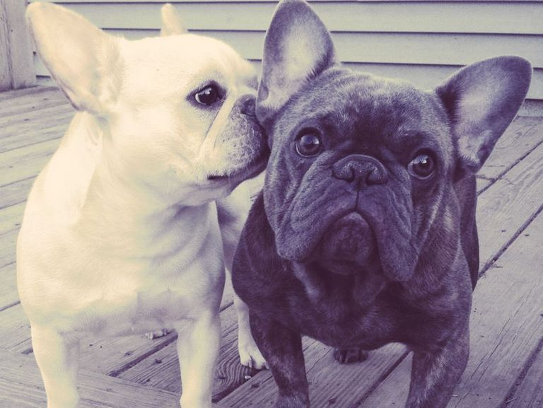 Lv French Bulldogs Of Indiana
