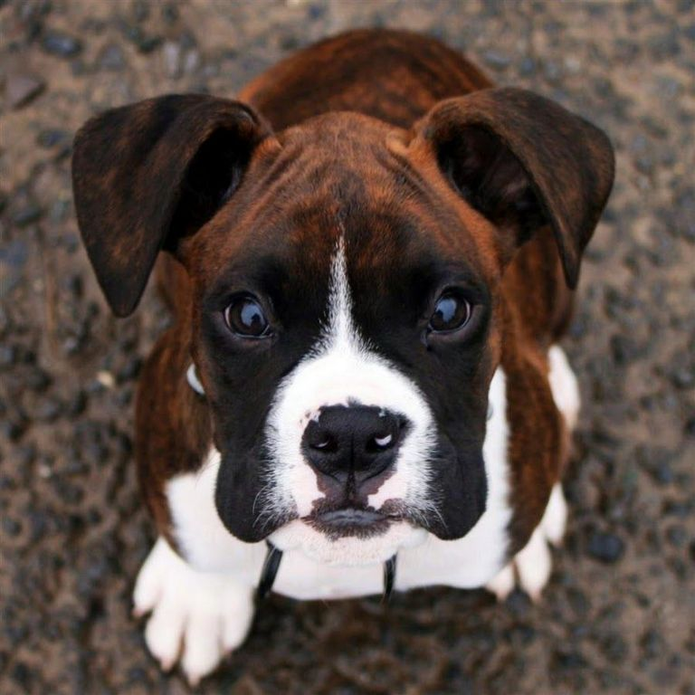 Mahogany Boxer Puppies For Sale In Ohio