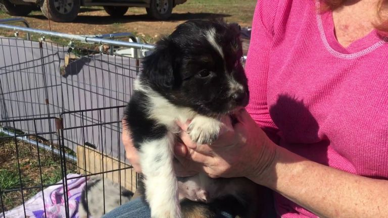Male Australian Shepherd For Sale
