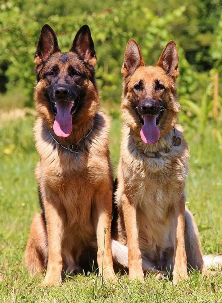 Male German Shepherd Police Dog Names