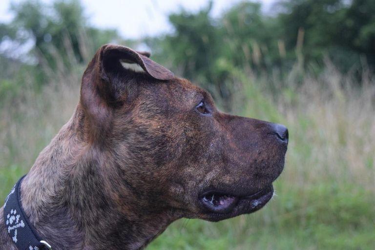 Malinois Dog K9 Breeds