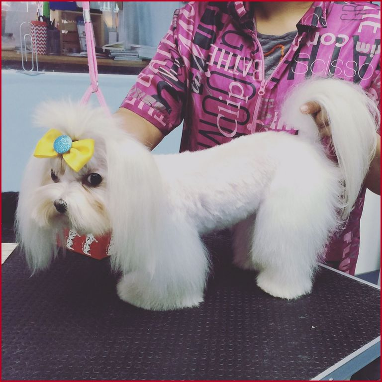 Maltese Haircut Styles