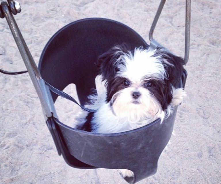 Maltese Puppies For Sale Illinois