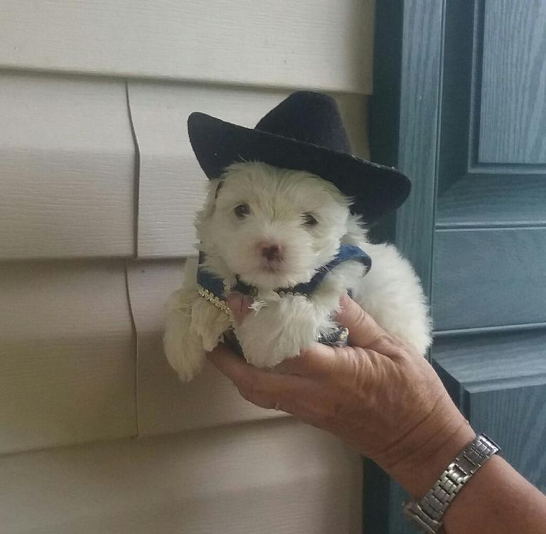 Maltese Puppies For Sale In Ga Top Dog Information