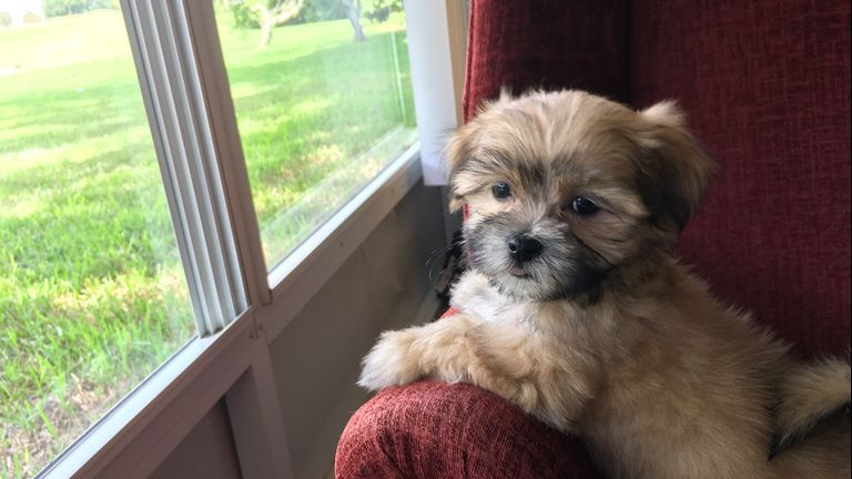 Maltese Puppies For Sale In Tn