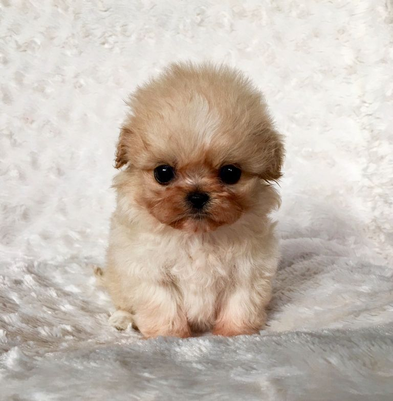 Maltipoo Puppies For Sale In Georgia