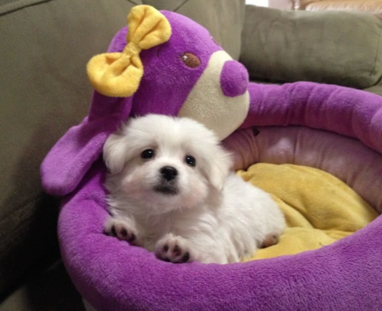Maltipoo Puppies For Sale In Tn