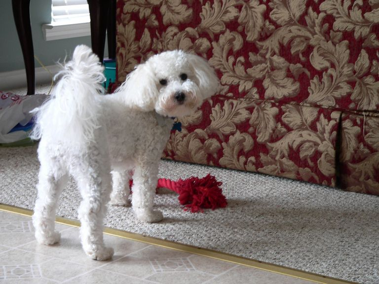 Maltipoo Puppies For Sale In Va