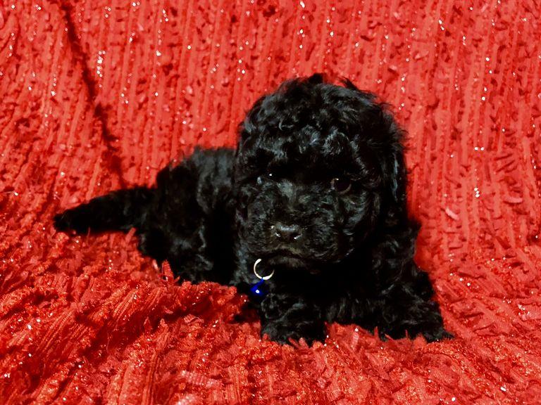 Maltipoo Puppies For Sale Sacramento | Top Dog Information