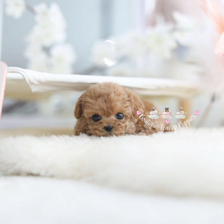 Micro Goldendoodle For Sale Near Me