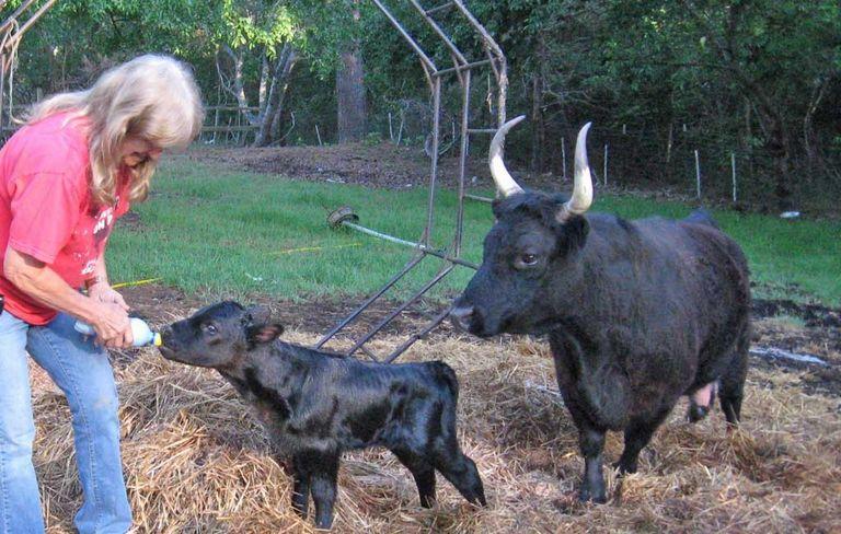Micro Mini Cows For Sale In Texas