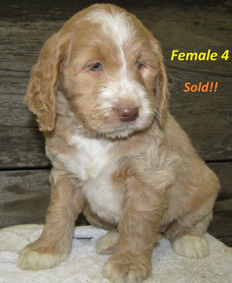 Micro Mini Goldendoodle For Sale Near Me