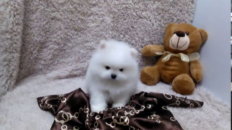 Micro Teacup Puppies For Sale In Florida