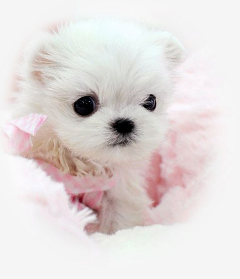 Micro Teacup Puppies For Sale In Nj