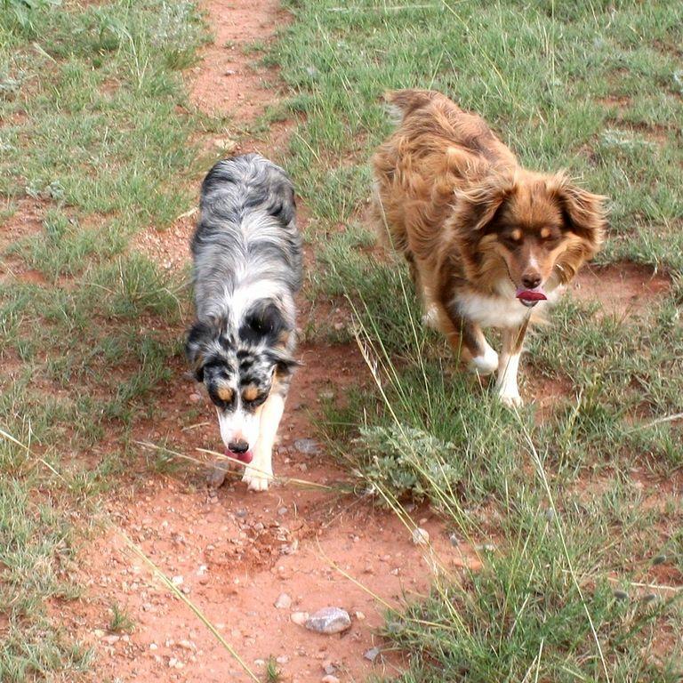 Mini Australian Shepherd Puppies Bakersfield Ca