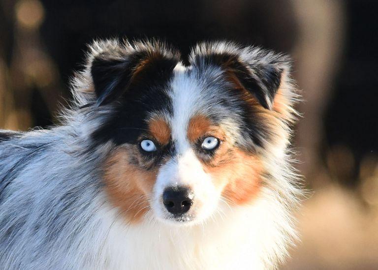 Mini Australian Shepherd Puppies For Sale In Ky