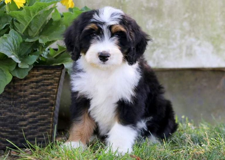 Mini Bernedoodle Breeders East Coast