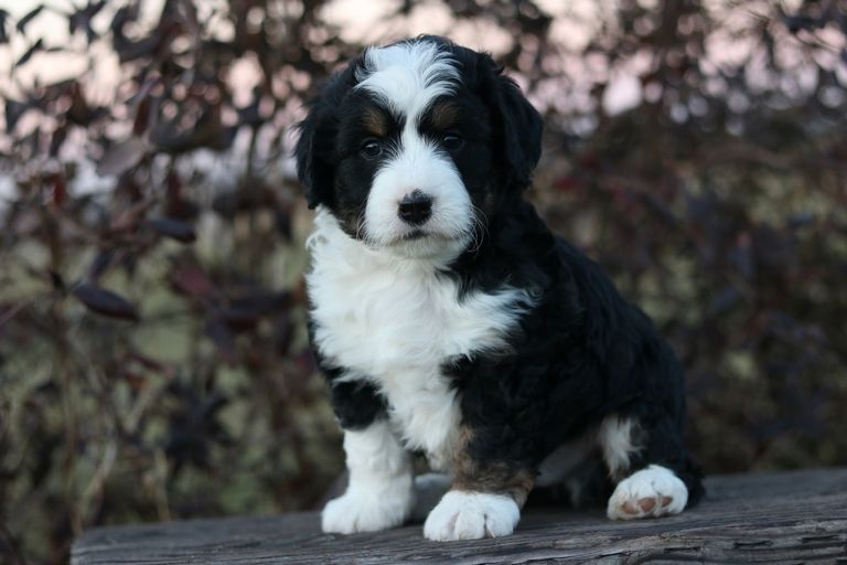 Mini Bernedoodle Puppies Charlotte Nc